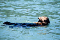 Sea Otter Feeding on a Crab-2