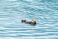Sea Otter in Resurrection Bay, Alaska-3