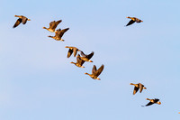 Whitefront Geese in Flight