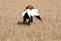 Vizsla hunting dog retrieving snow goose, North Dakota