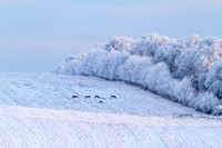 Whitetails in the Frost
