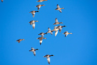 Mallard Ducks Flying-8