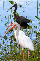 White Ibis in the Everglades-6
