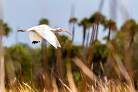 White Ibis in the Everglades-5