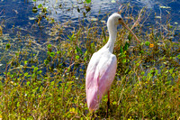 Roseate Spoonbil in the Everglades
