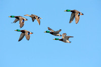 Mallard Ducks Flying-10