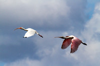 Roseate Spoonbil in the Everglades-7