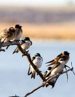 Swallows in a Tree-6