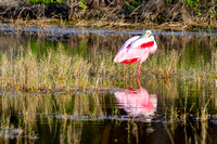 Roseate Spoonbil in the Everglades-10