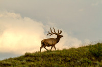 Bull Elk in the North Dakota Badlands