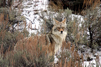 Coyotes in the Snow-2