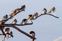 Swallows in a Tree-5