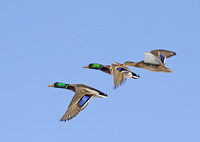 Mallard Ducks Flying-2