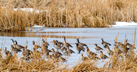 Whitefront Geese and Canadas