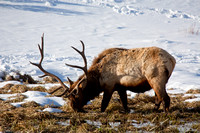 Bull Elk in the Snow-3-2
