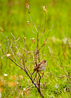 Sparrow on the Lostwood National Wildlife Refuge