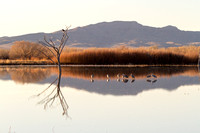 Bald Eagles and Sandhill Cranes, Bosque del Apache National Wildlife Refuge, New Mexico