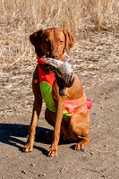 Vizsla hunting dog with harvested game, North Dakota