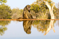 Baboon and Reflection