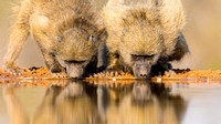 Young Baboons Drinking