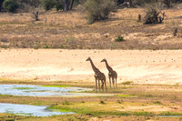 Giraffes - Krueger National Park