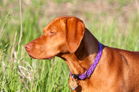 Vizsla hunting dog pointing-2-2