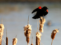 Red-Winged Blackbird on Cattails