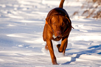 Vizsla dog running