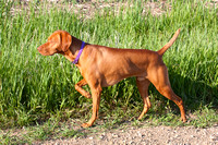 Vizsla hunting dog pointing-2