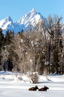 Grand Tetons Winter Moose