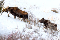 Cow Moose with Calf in the Snow