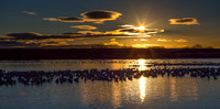 Snow Geese at Sunrise Pano