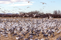 Snow Geese and Cranes Feeding on Waste Corn-6