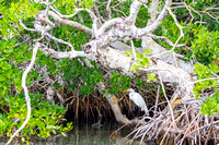 Great Egret in the Mangroves