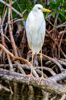 Great Egret on Mangrove Roots-2