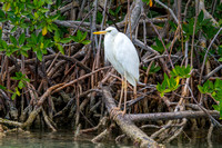 Great Egret on Mangrove Roots