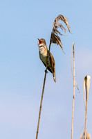 Great Reed Warbler-2