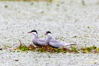 Nest-building Terns in the Danube Delta-2