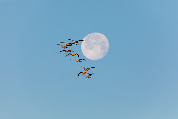 Snow Geese and a Full Moon-2