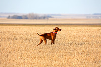 Vizsla hunting dog pointing