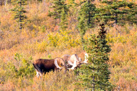 Bull Moose on the Tundra-18