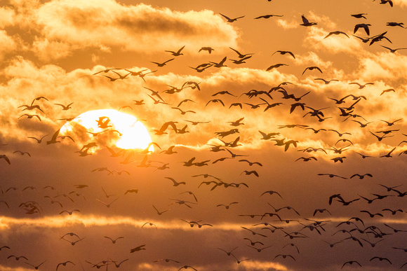 Snow geese flying at sunset-2