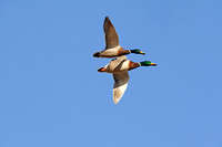 Mallard Ducks Flying-4
