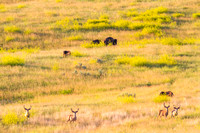 Mule Deer and Bison in the North Dakota Badlands