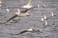 California Gulls in Flight