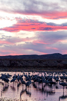 Sandhill Cranes on a Marsh at Sunset, Bosque del Apache National Wildlife Refuge, New Mexico