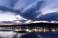 Sandhill Cranes on a Marsh at Sunset, Bosque del Apache National Wildlife Refuge, New Mexico-6