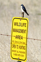 Tree Swallow on a Sign-6