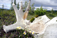 Moose Shed and Flowers on the Tundra-2