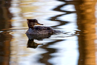 Hooded Merganser-2